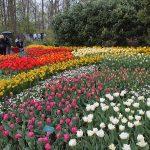 Кёкенхоф: тюльпаны
