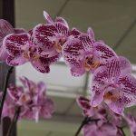 Кёкенхоф: орхидеи