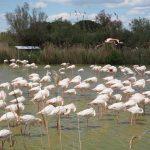 Розовые фламинго Камарга